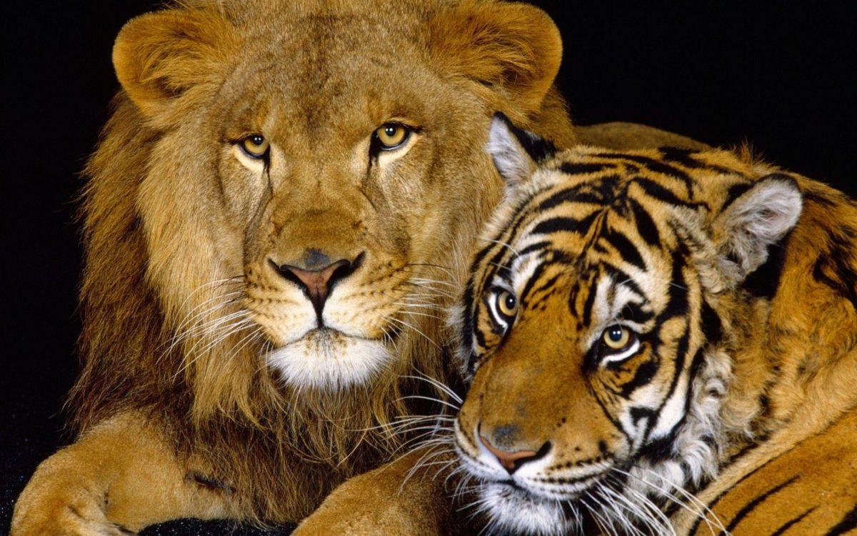 lion animal wallpapers for desktop | walljpeg.