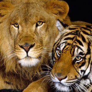 download lion animal wallpapers for desktop   walljpeg.