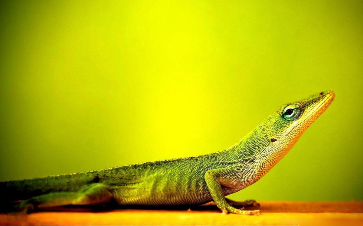 Lizard Desktop Wallpapers – HD Wallpapers Inn