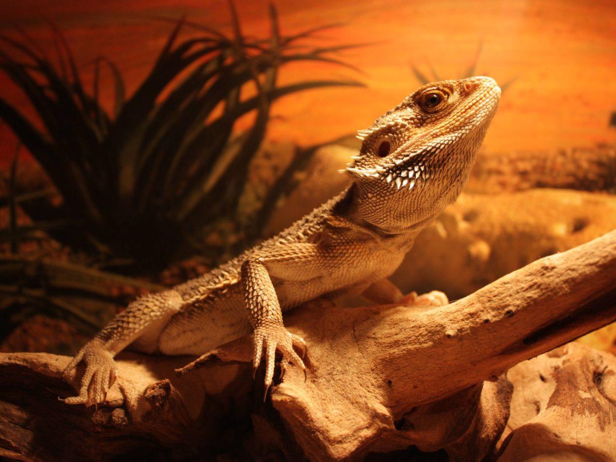 Beautiful Lizard On The Rock Wallpapers HD