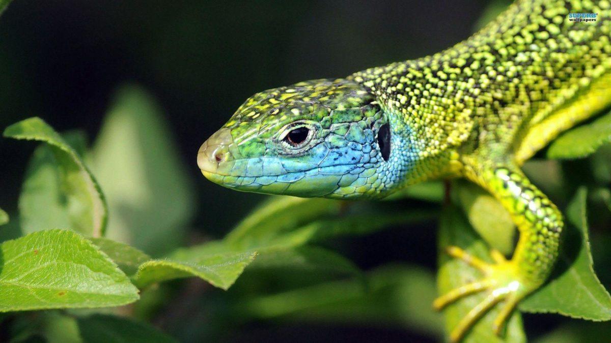Lizard wallpaper – Animal wallpapers – #