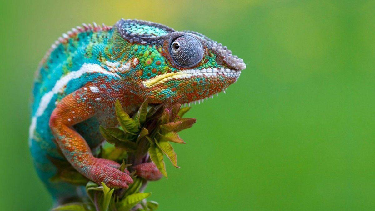 Lizard HD Wallpapers – HD Wallpapers Inn