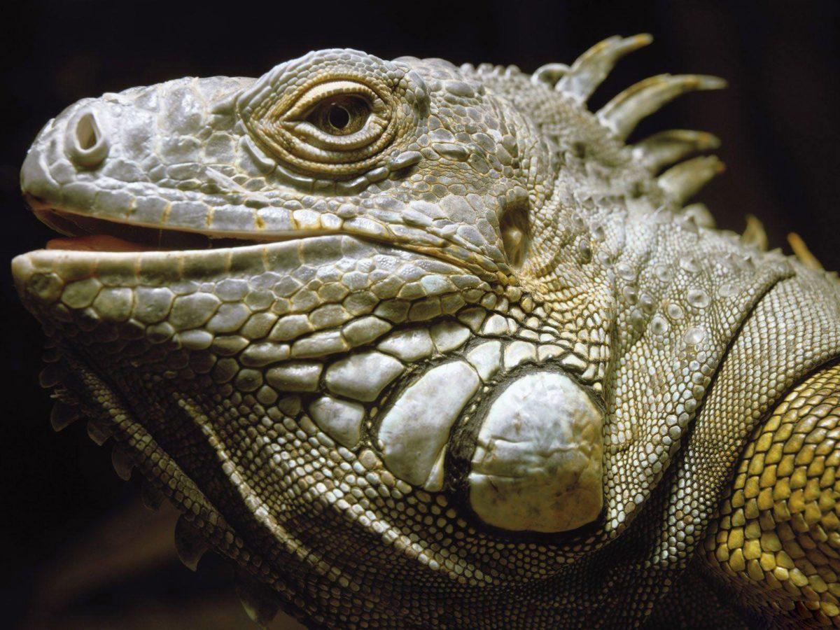 Desktop Wallpaper · Gallery · Animals · Green iguanas Lizard …