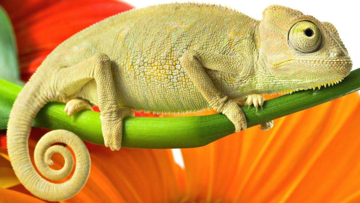 Download Animal Lizard Wallpaper 1920×1080 | Wallpoper #214211