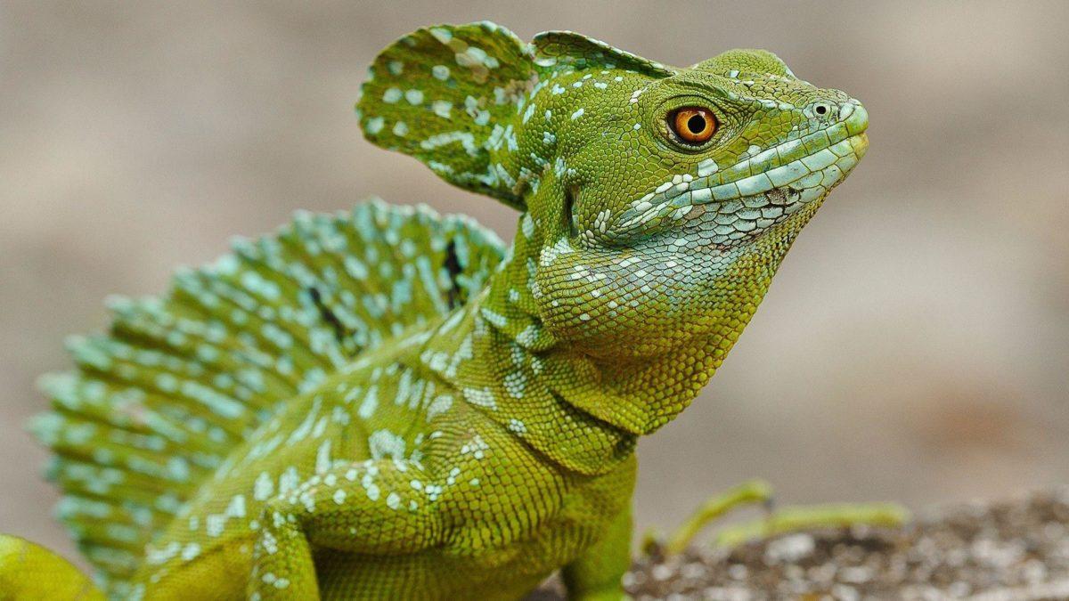 Pix For > Lizard Wallpaper