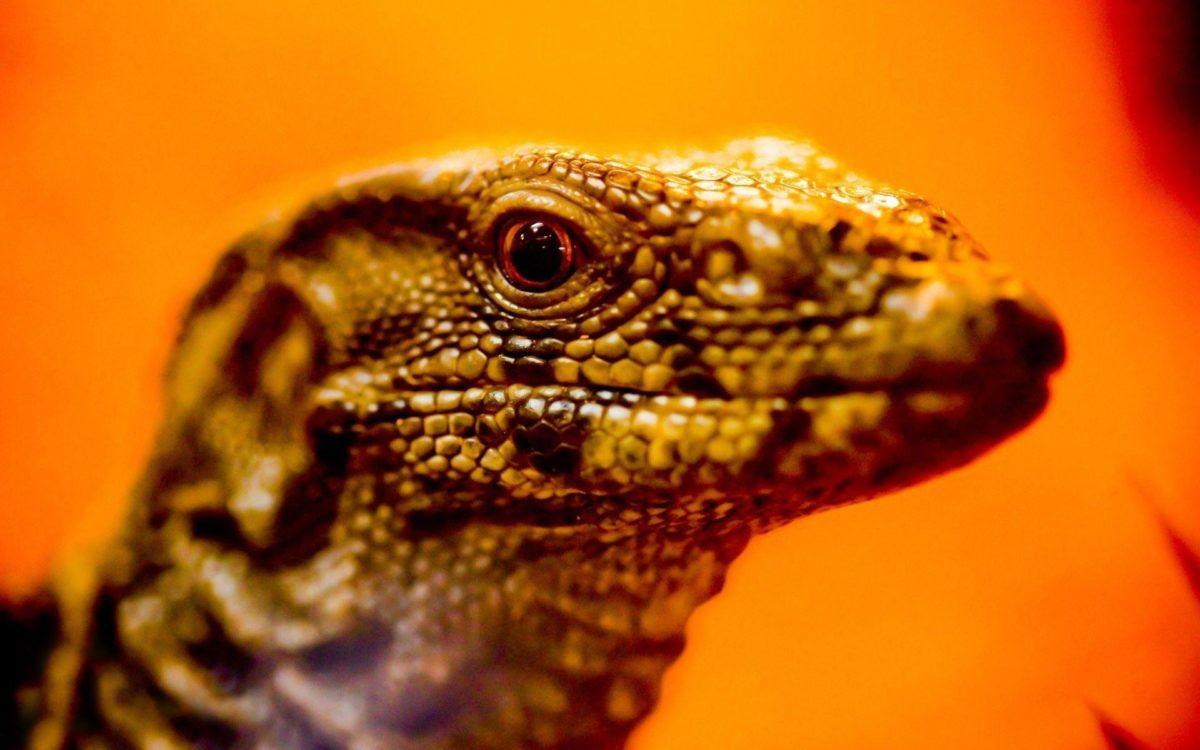 lizard-9976.jpg
