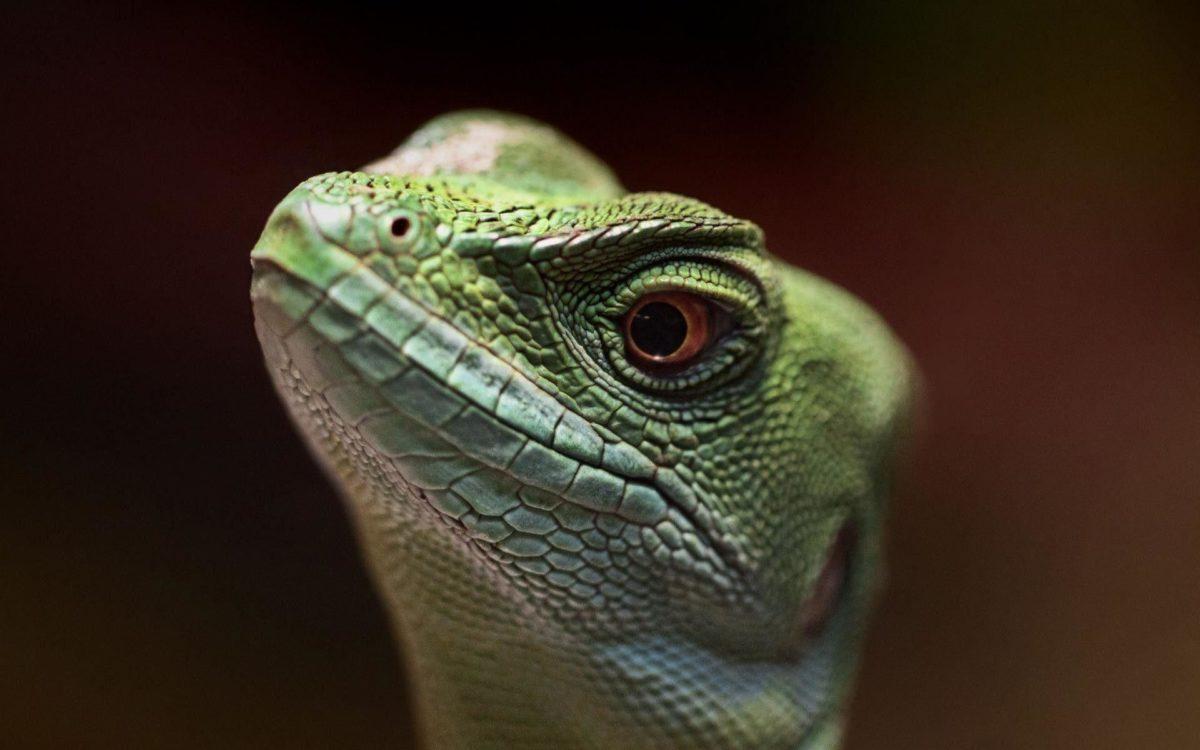 lizard wallpaper | Wallpaper