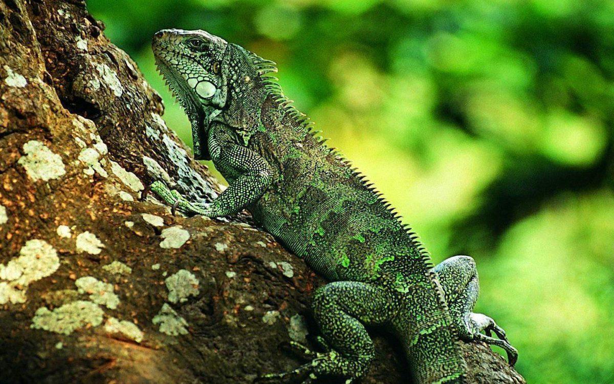 Lizard Wallpaper | Lizard Images Free | Cool Wallpapers