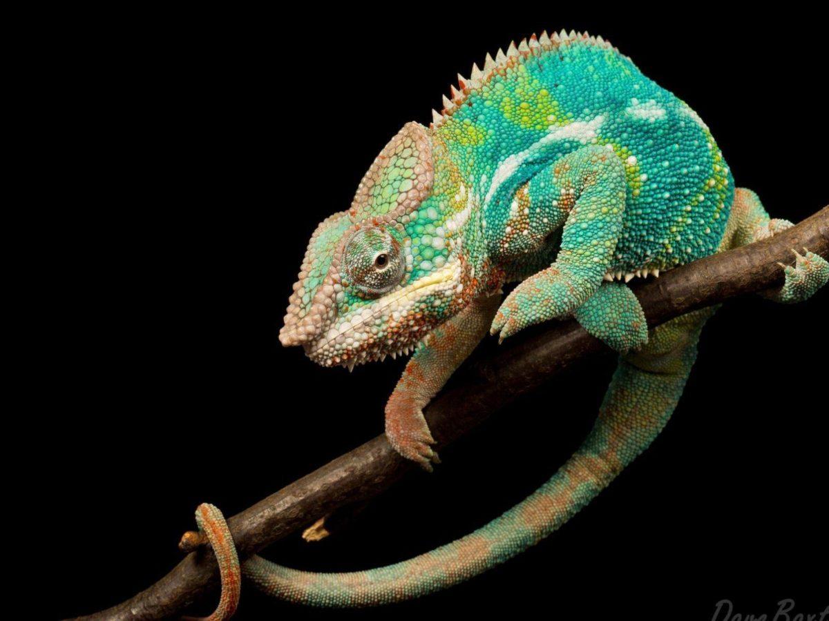 Cool Lizard Wallpaper