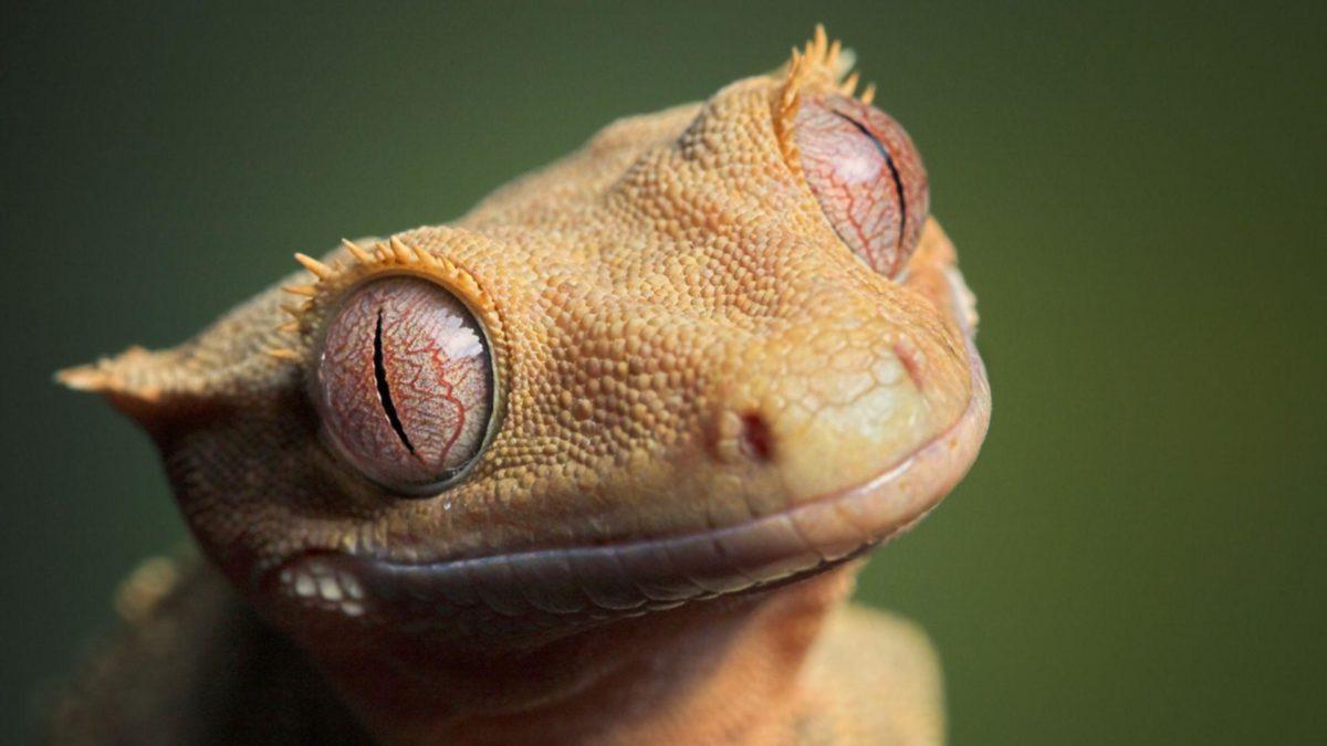 Lizard HD Wallpapers