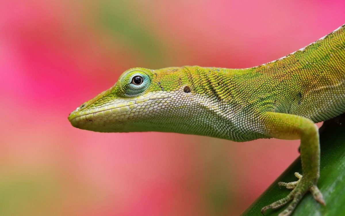 Colorful Lizard Pink Background | Paravu.com | HD Wallpaper and …