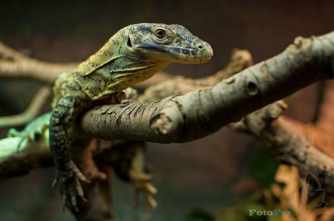 Lizard (Wallpaper) by FotoFurNL on DeviantArt