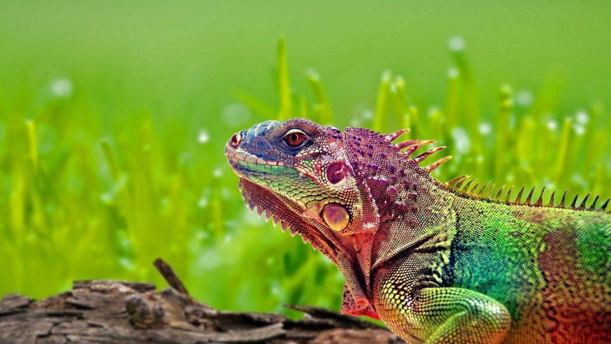 Colorful Lizard Wallpaper 15386 1920×1080 px ~ FreeWallSource.