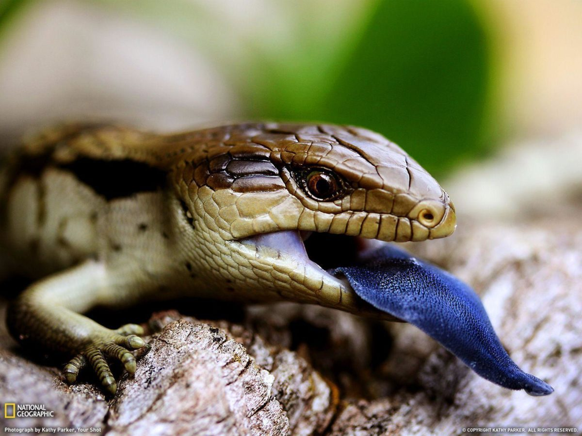 Blue-Tongued Lizard Picture – Animal Wallpaper – National …