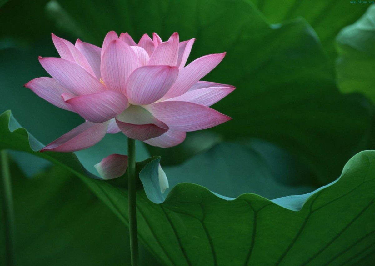 Cute Pink Lotus Flower Wallpaper for Computer HD – Free Download …