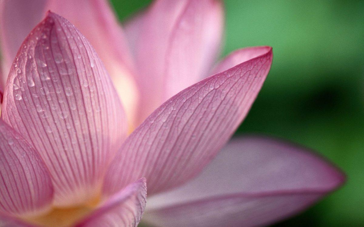 Lotus Flower Desktop Wallpapers | Lotus Flower Pictures | Cool …