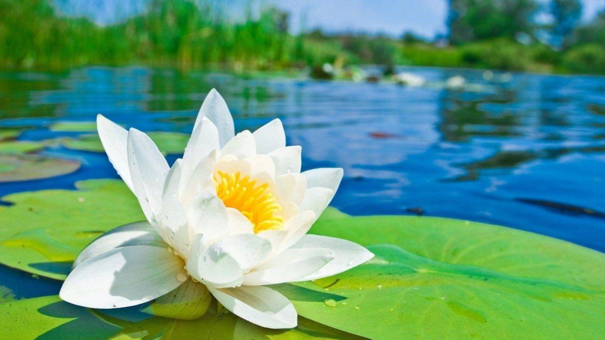 Water Lotus Flower HD Desktop Wallpaper Free – Free Download …