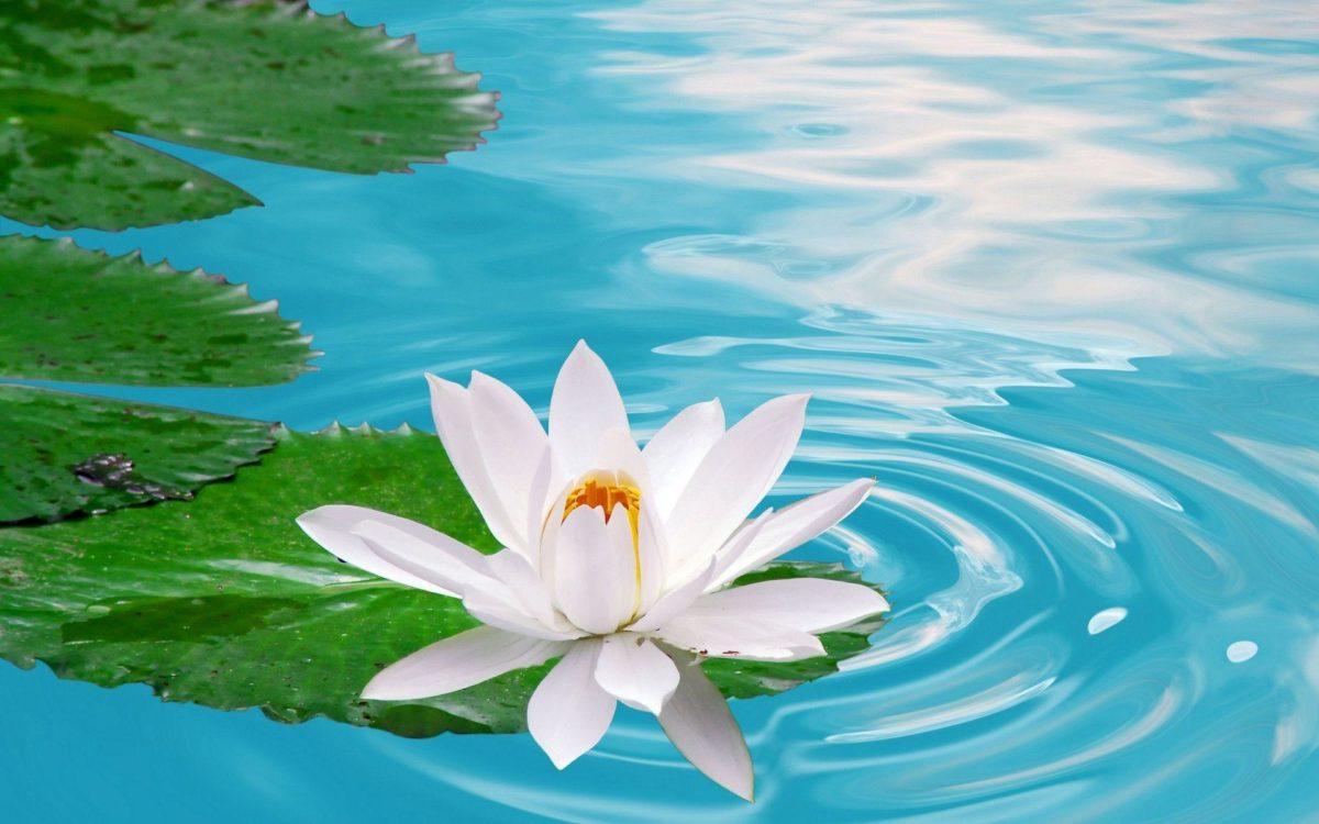 lotus flower wallpaper – Funky Fevar
