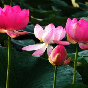 download Lotus Flower HD Wallpapers – HD Wallpapers Inn