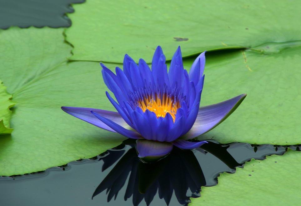 White lotus flowers beautiful images – Beautiful black and white …