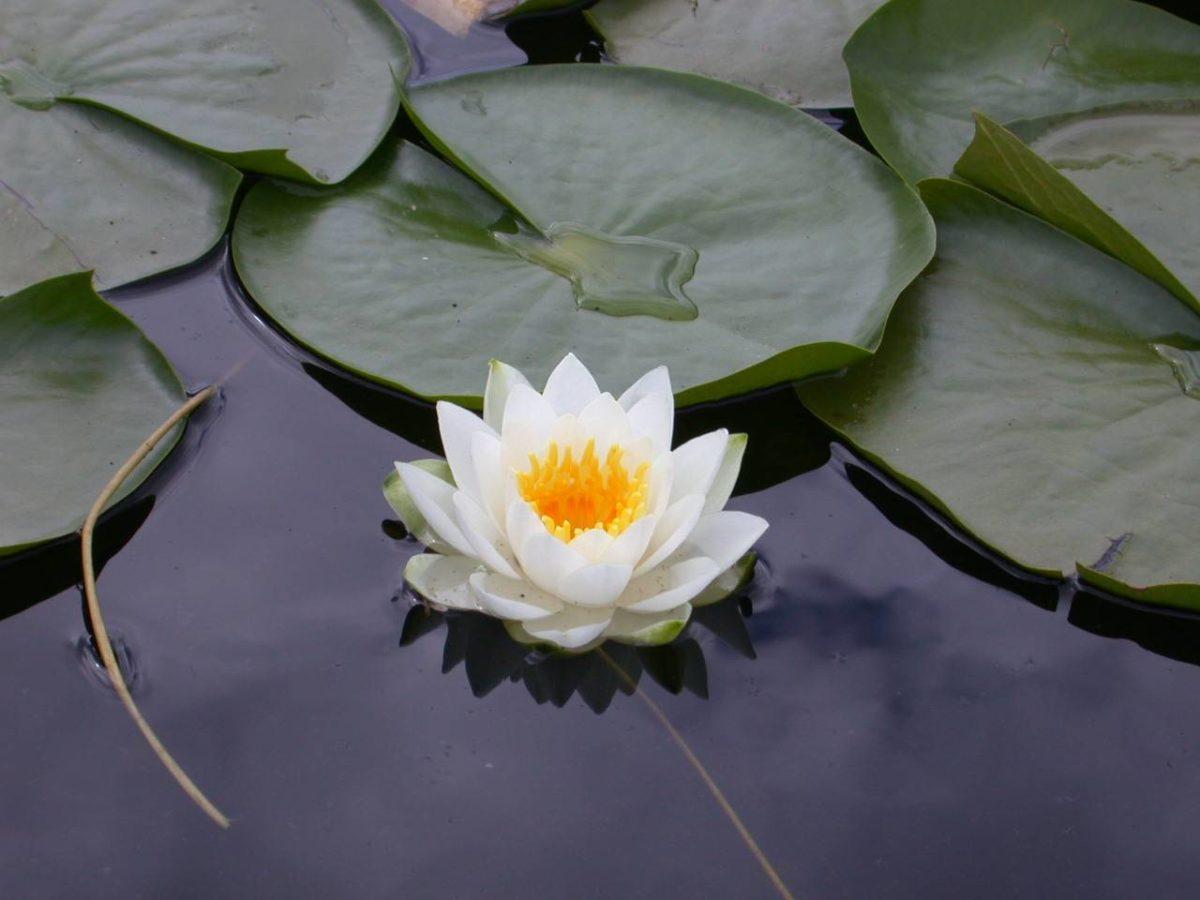 Lotus Flower HD Wallpaper | Lotus Flower Pictures | New Wallpapers