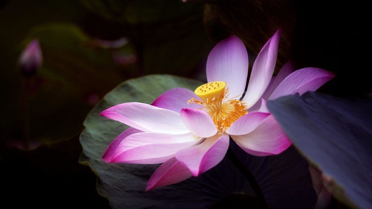 You Can Download The Lotus Flower Wallpaper (1920 X 1080 Px) Here …