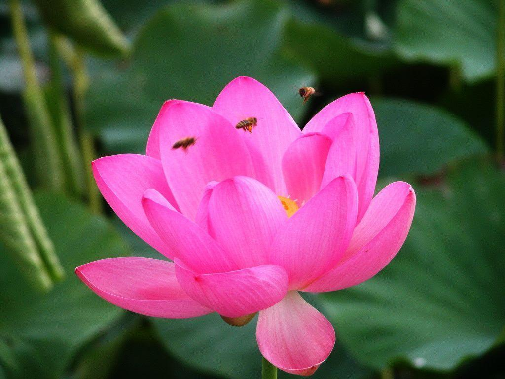 Lotus Flowers Flower Nice Wallpapers, HQ Backgrounds | HD …