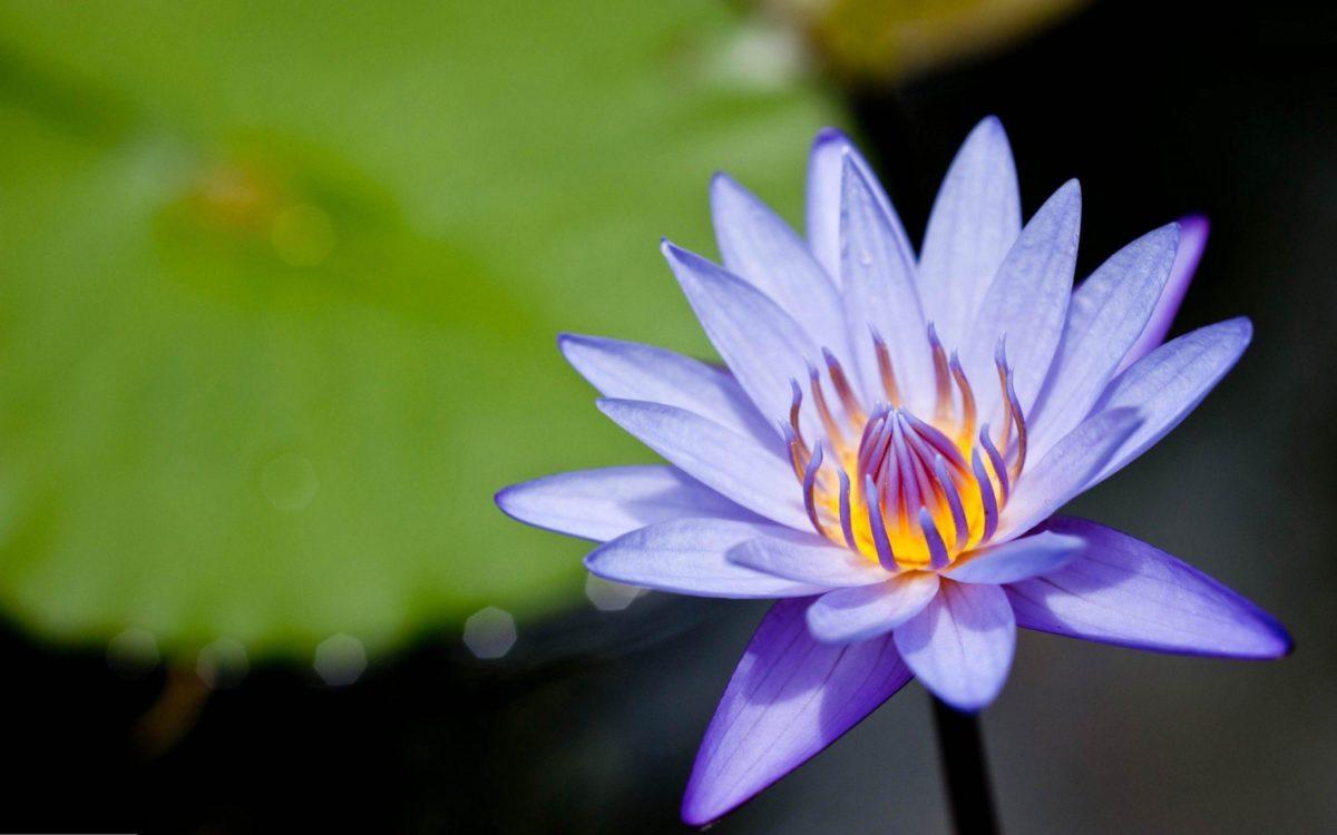 Amazing Purple Lotus Flower Desktop Backgrounds Download Free …