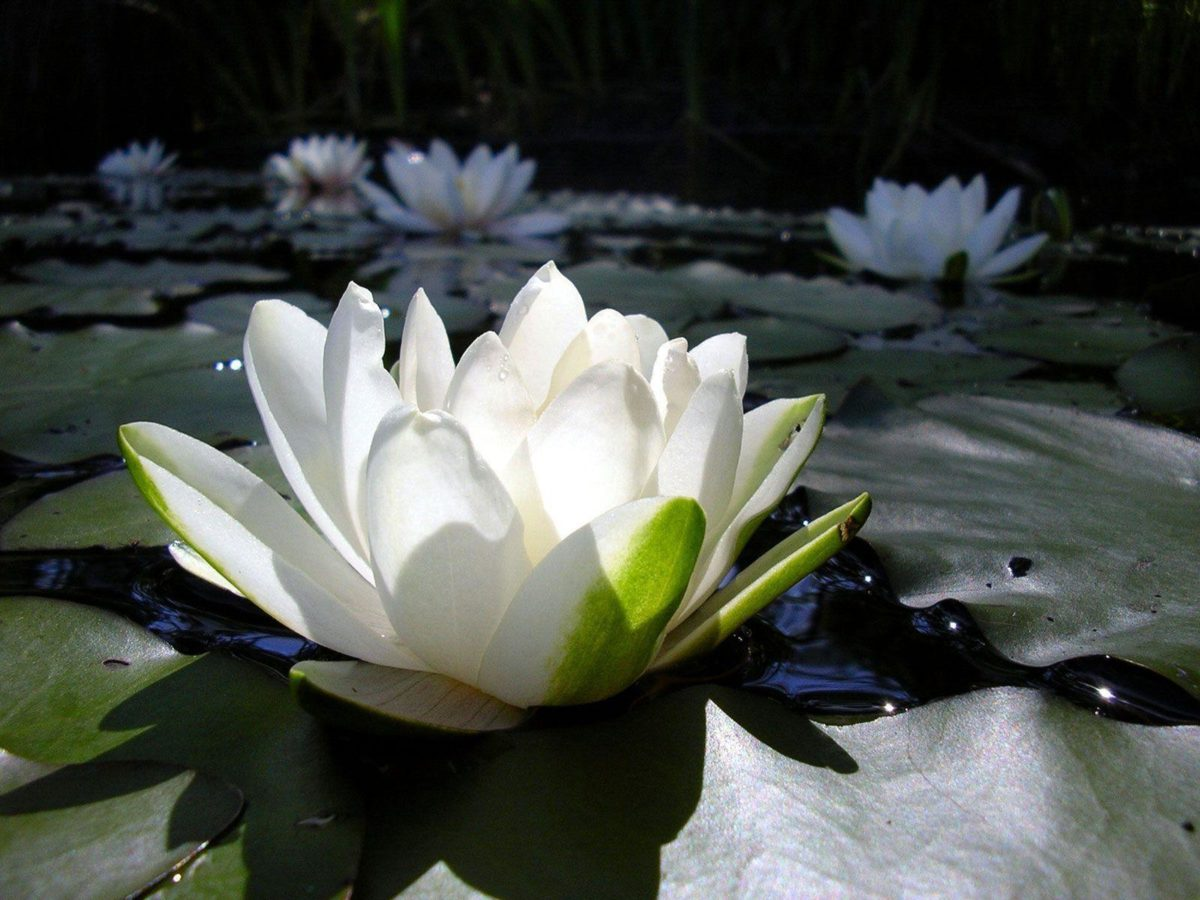 Beautiful White Lotus Flower HD Wallpapers