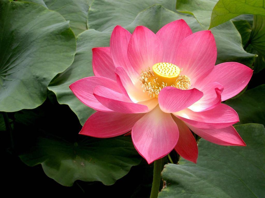 Lotus Flower Pictures Wallpaper | ForestHDWallpaper.
