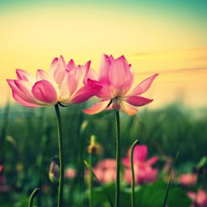download Lotus Flower wallpaper – 1105280