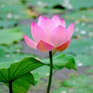 download Wallpapers For > Lotus Flower Wallpaper Free Download