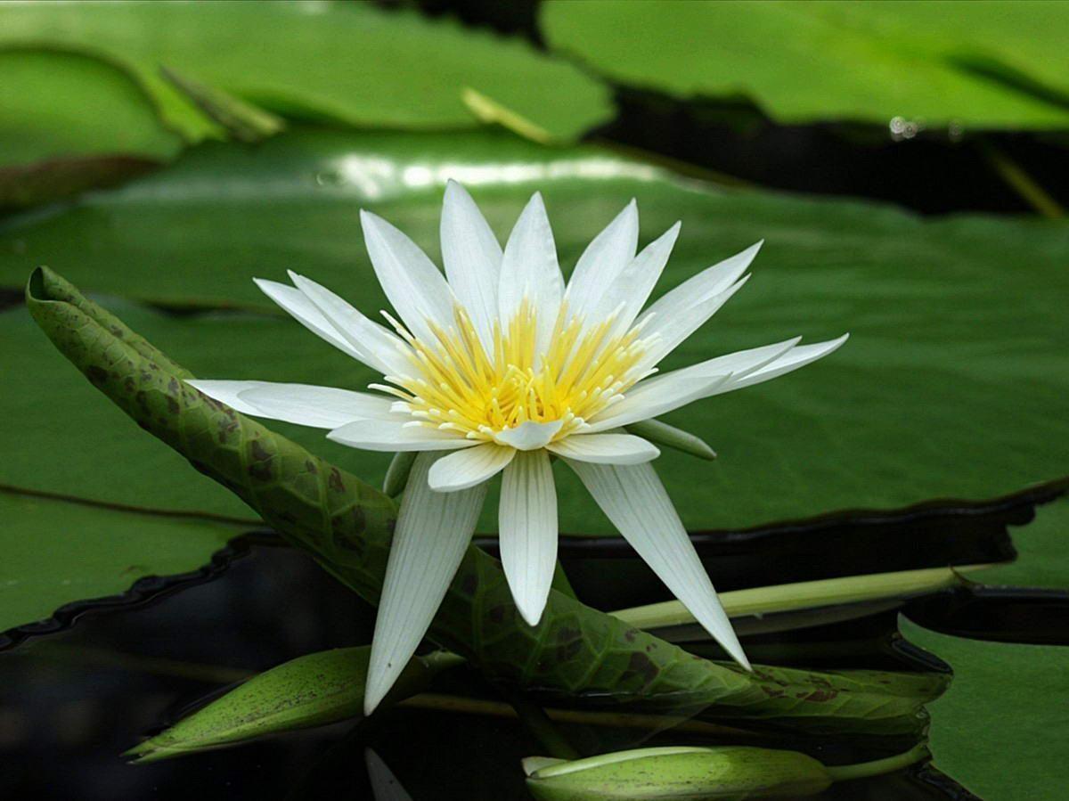 Flowers For > White Lotus Flower Wallpaper