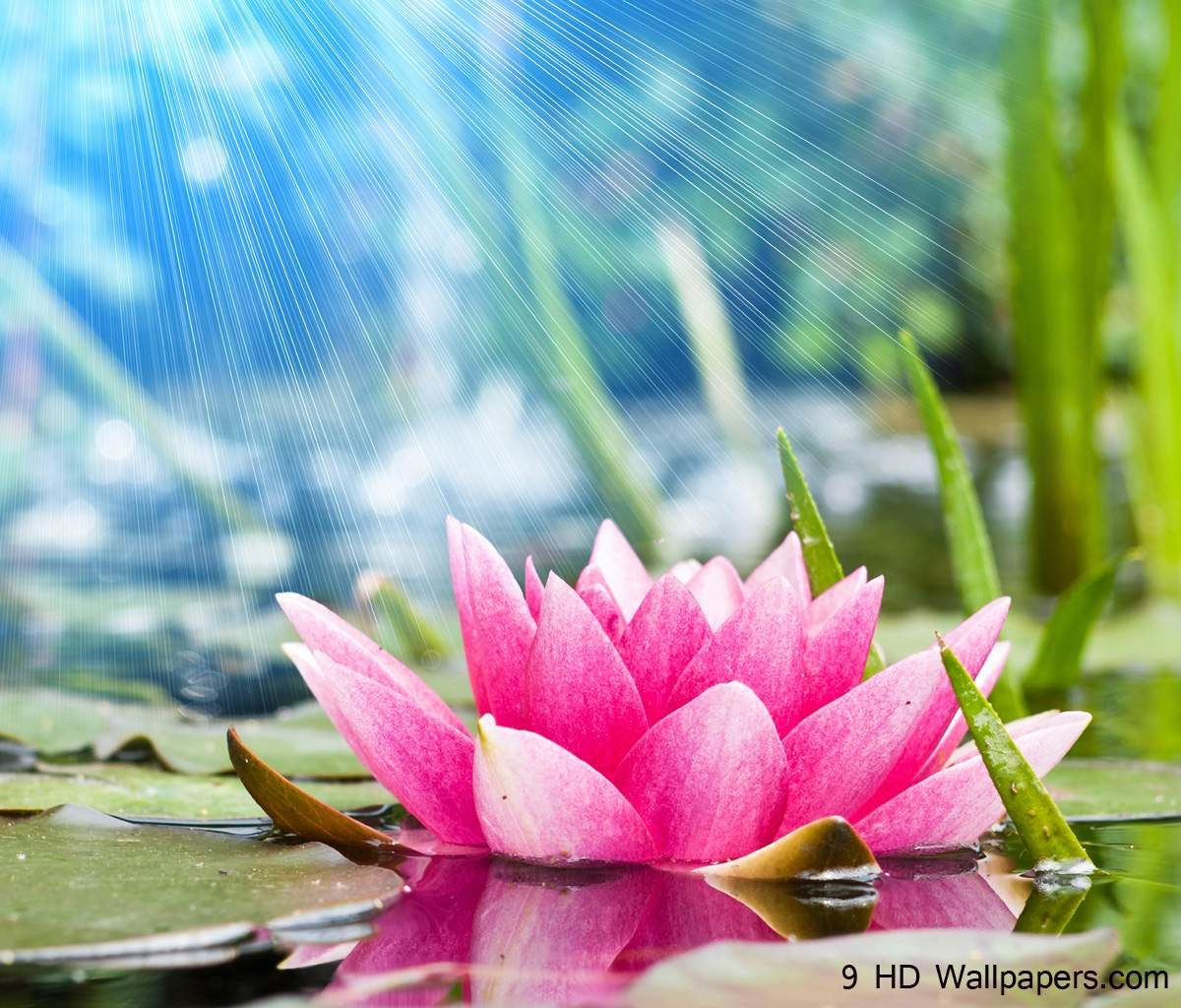 Lotus Flower HD Wallpapers, Flowers Images And Photos – Full HD …