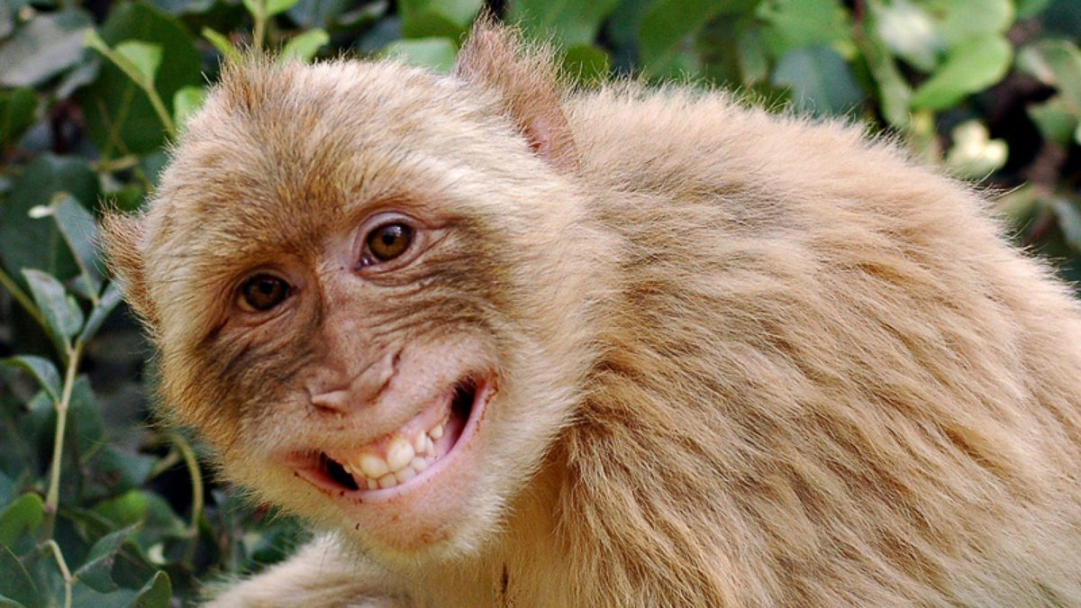 Funny-Monkey-Wallpaper-4 – Just Another Entertainment Source :