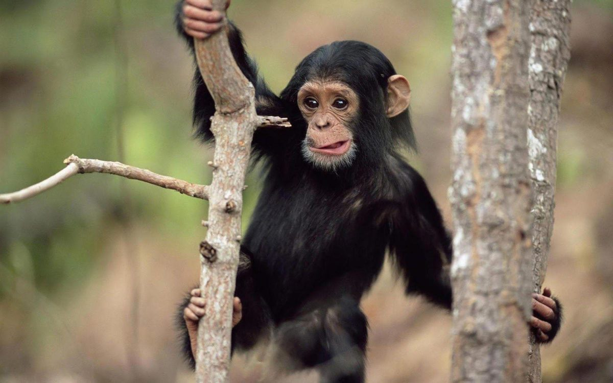 Monkey Wallpapers Pictures| HD Wallpapers ,Backgrounds ,Photos …