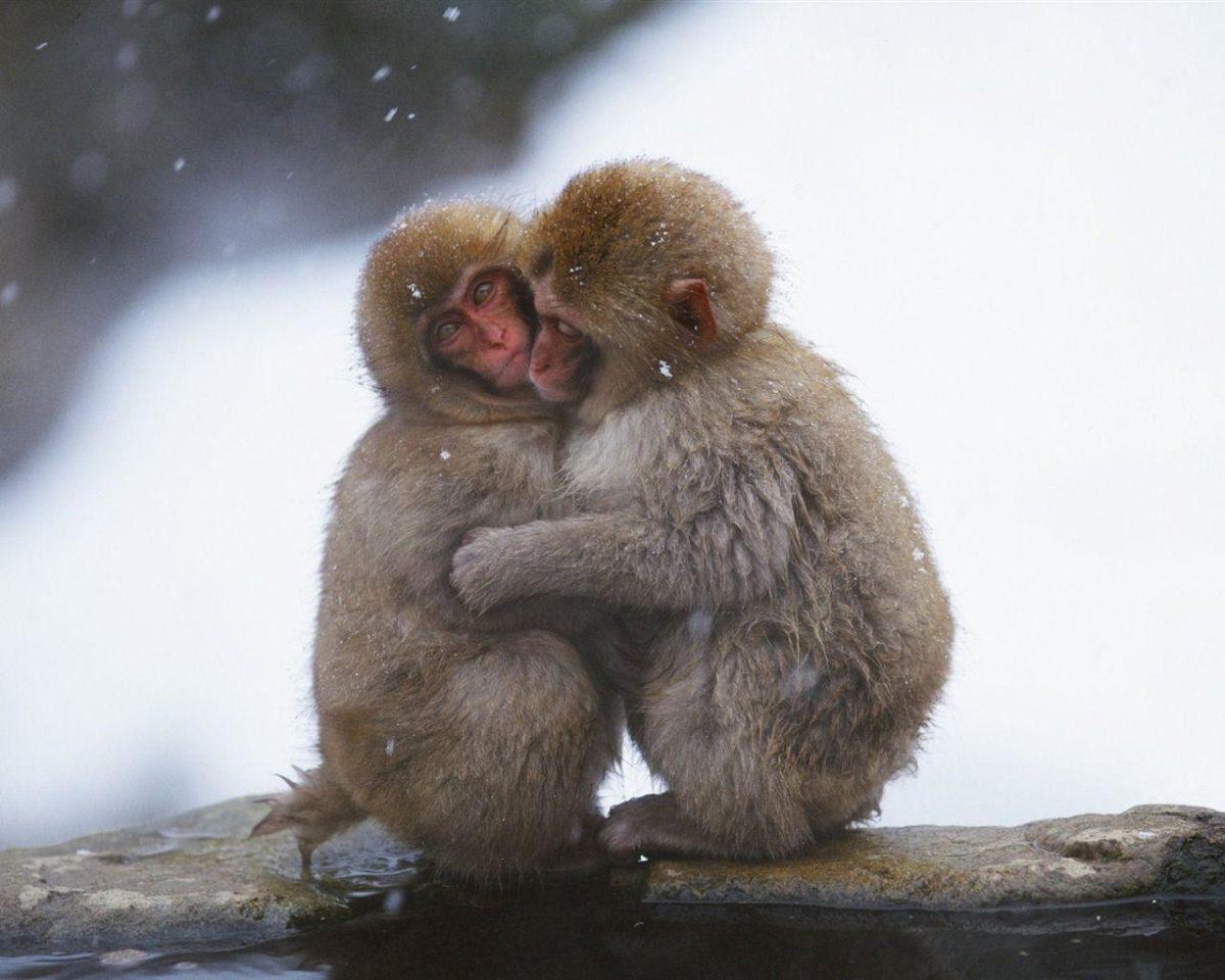 Snow hugged the monkey wallpaper – 1280×1024 wallpaper download –