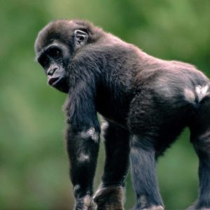 download Monkey Wallpapers ~ TipTop 3D & HD Wallpapers Collection