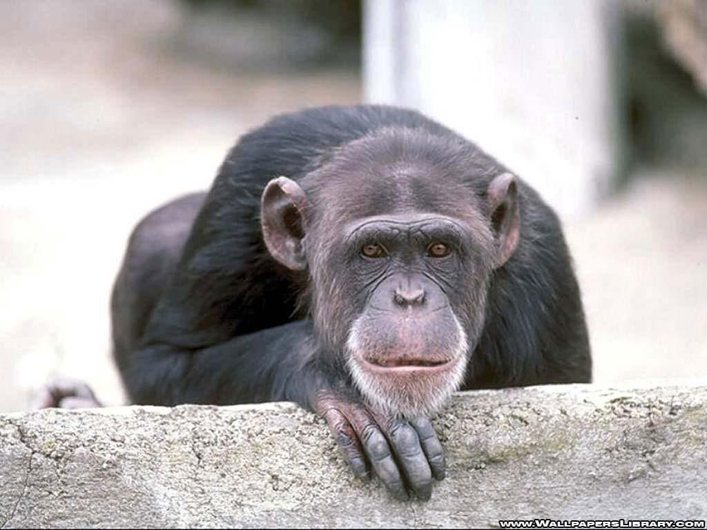 monkey wallpaper – Animal Backgrounds