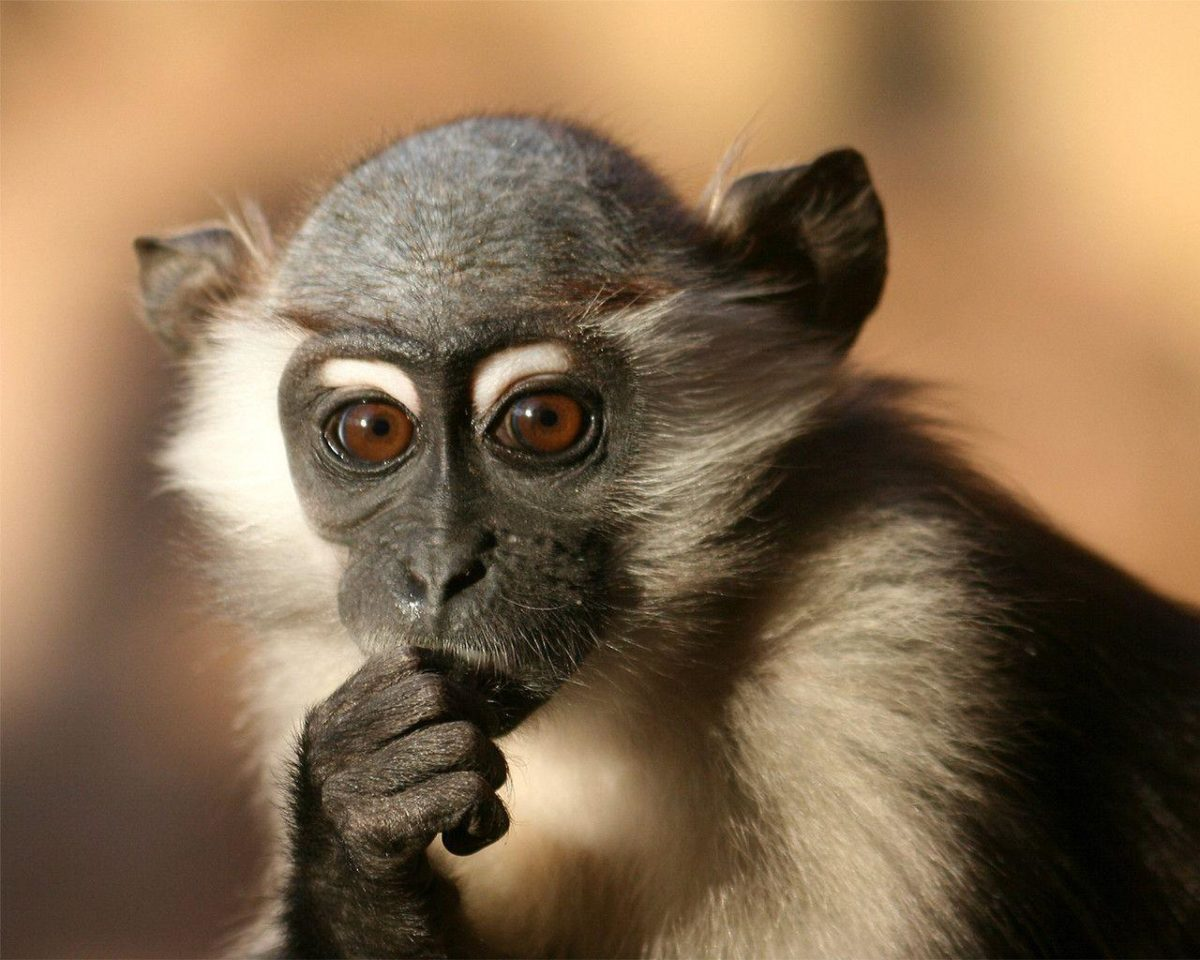 Monkey Wallpaper Download 625 HD Pictures | Best Wallpaper Photo