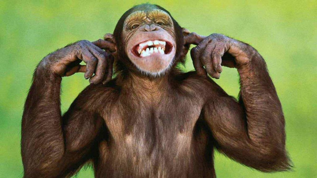 monkey wallpaper | monkey wallpaper