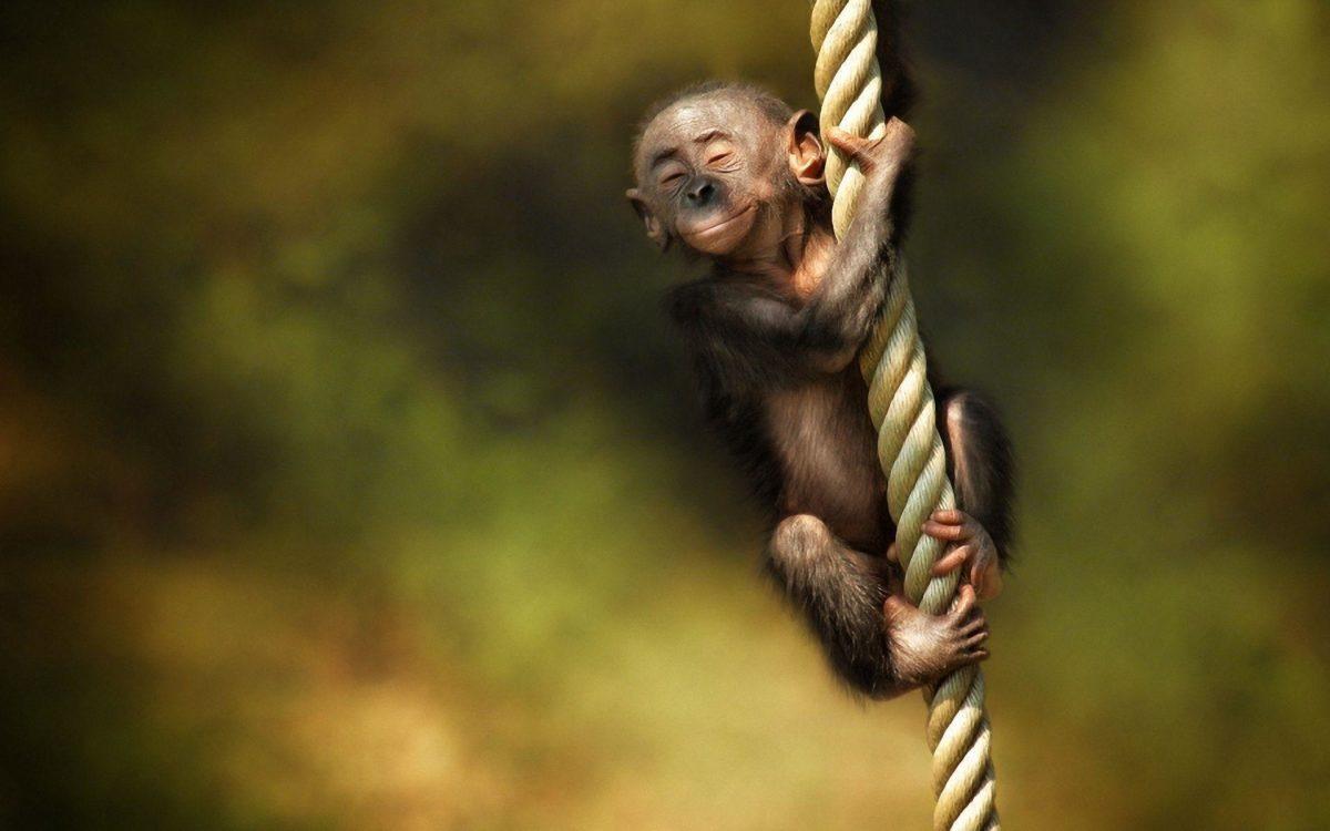 Monkey Desktop Wallpaper | Monkey Pictures | New Wallpapers