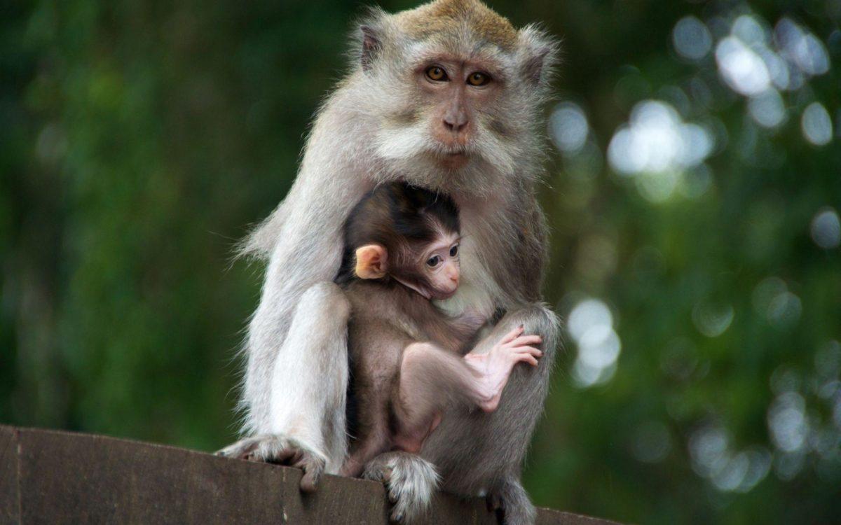 Monkey Monkey (id: 184559) | WallPho.