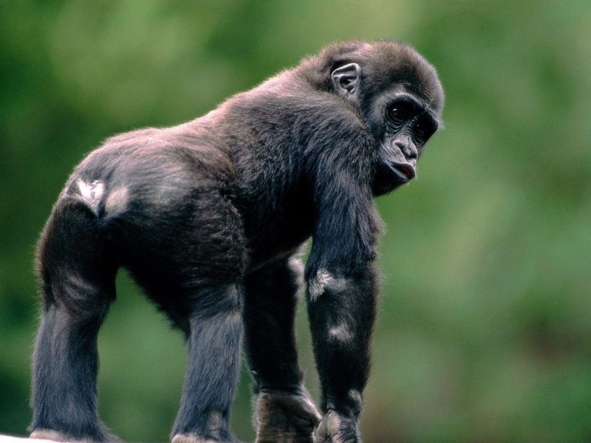 Monkey Wallpapers Pictures – wallpaper
