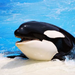 download 8 Orca Wallpapers   Orca Backgrounds