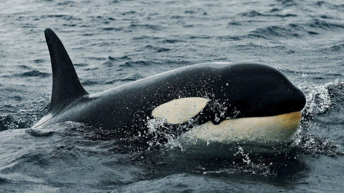 8 Orca Wallpapers | Orca Backgrounds