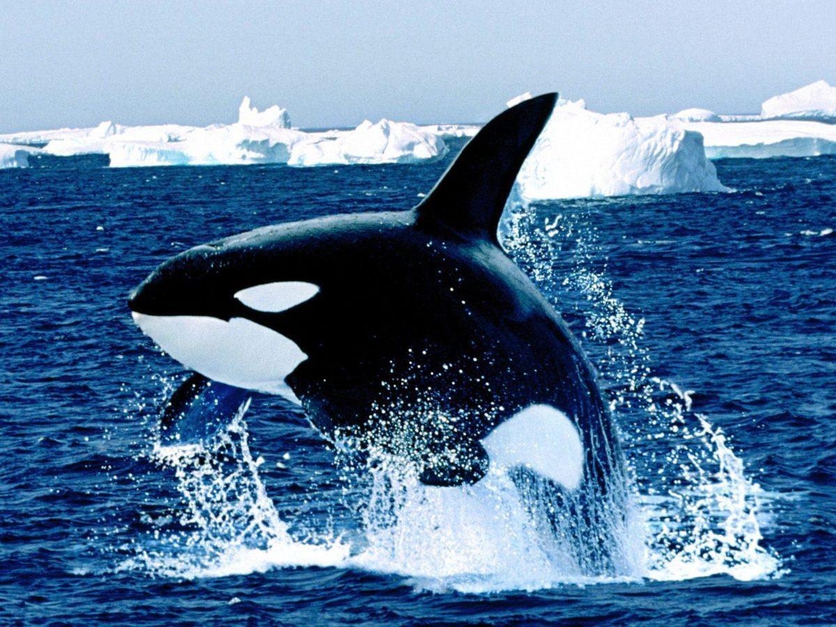 Emerging orca killer whale free desktop background – free …