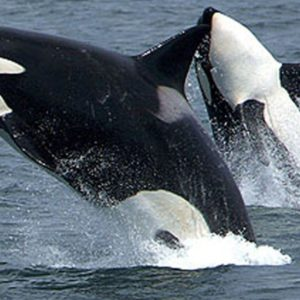 download Orca background wallpaper – Animal Backgrounds