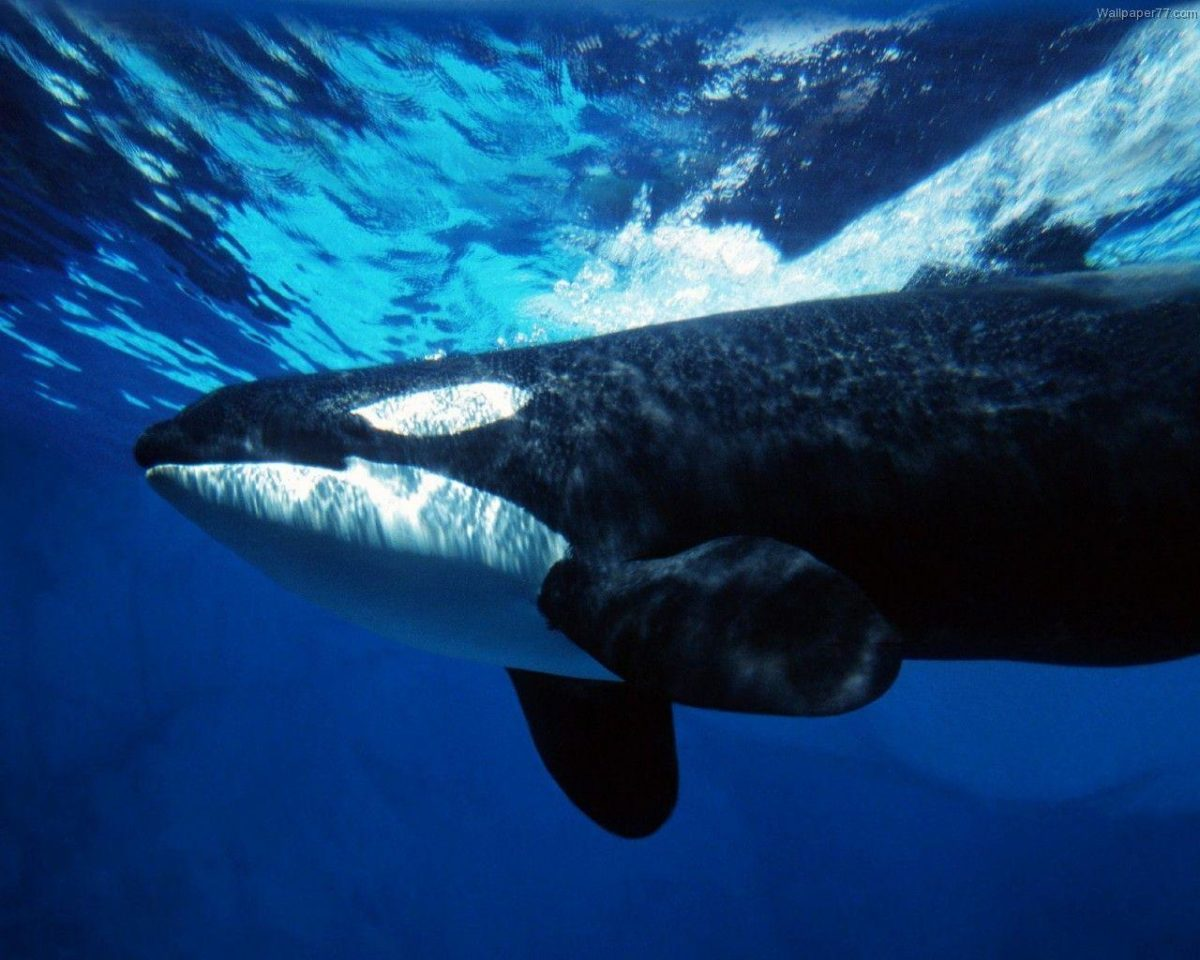 orca background HQ wallpaper – Animal Backgrounds