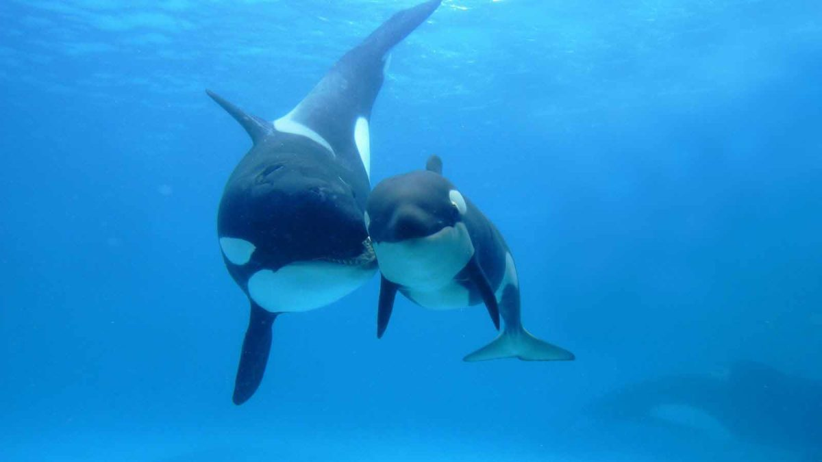 Orca | HD Wallpapers P